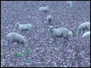 Pecore e rape