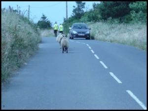 Anche le pecore vanno a sinistra...